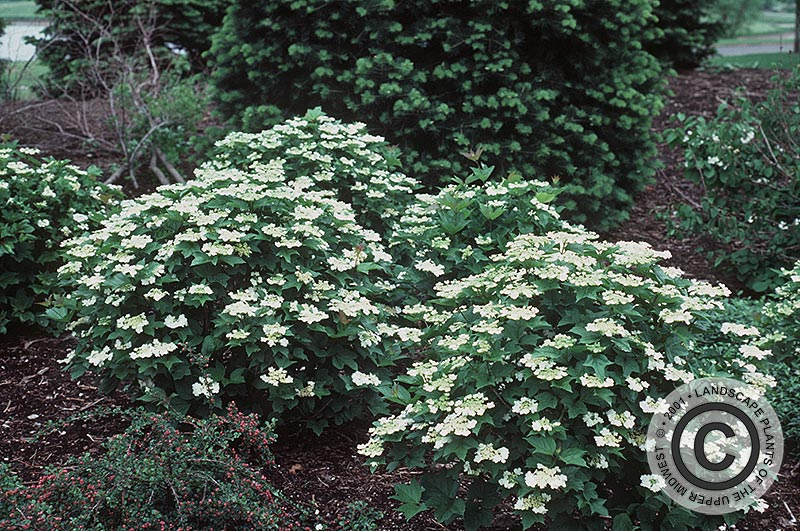 viburnum single parents Give now | apply | parents  about 1/3 inch diameter with a single large  most of the highbush cranberry viburnums sold in the landscape industry are.